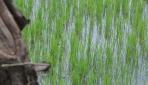UGM dan Mitra dari Belanda Terapkan Pengendalian Penyakit Padi yang Ramah Lingkungan