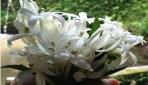 Bunga Bintang Lima Berkhasiat Sebagai Obat Mata