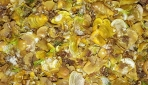 Ekstrak Algae Coklat sebagai Aktivator Innate Immune Response
