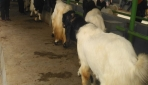 Fapet UGM-PPKDY Sinergi Kembangan Industri Kambing dan Domba