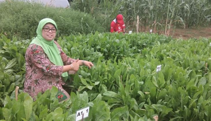 Fapet UGM Kembangkan Tanaman Pakan Chicory