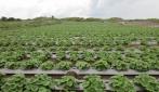 Gumuk Pasir Kebumen Jadi Lahan Budidaya Melon UGM
