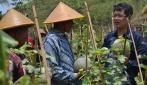 Gama Melon Cocok Ditanam di Lahan Kering