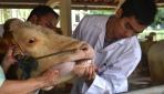 UGM Bantu Pengobatan Hewan Korban Kelud