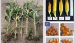Dongkrak Produksi Jagung Nasional, Dosen UGM Kawinkan Srikandi dan Guluk-guluk