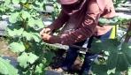 Peneliti UGM Kembangkan Melon Unggul TACAPA Dengan Media Tanam Abu Vulkanik
