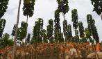 Jokowi Tinjau Sistem Pertanian Terpadu di Areal Hutan Blora
