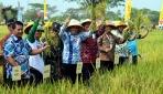 UGM dan Pemkab Klaten Panen Padi Varietas Pak Tiwi