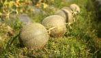 Bebas Ether,  UGM Kembangkan Melon Tacapa