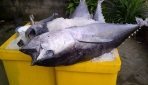 Tulang Ikan Tuna Berpotensi Sebagai Bone Graft