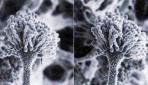 Aspergillus flavus, jamur penghasil aflatoksin (http://biologi.lipi.go.id)