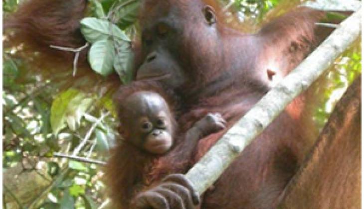 Bencana Kebakaran Hutan, FKH UGM dan Chester Zoo Bantu Tangani Penyelamatan Orangutan