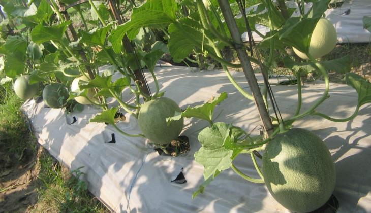 Melon Tacapa