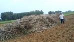 Batang singkong belum banyak dimanfaatkan dan hanya dibiarkan menumpuk begitu saja.