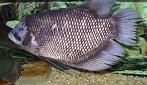Limbah sisik ikan gurami dan ikan kakap berpotensi dibuat menjadi plastik biodegradable.(foto: wikipedia)