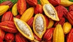 ilustrasi kakao (foto: ditjenbun.pertanian.go.id)