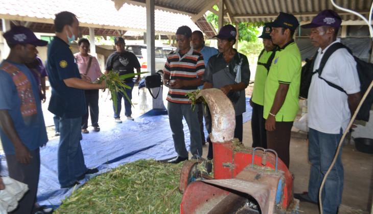 UGM Melatih Warga Papua Budidaya Ternaka Sapi