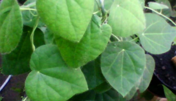 daun daunan apotik hidup untuk herbal daun cincau