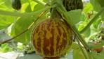 Fakultas Biologi Mengembangkan Melon Sebagai Bahan Anti Nyamuk